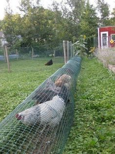Best Creative and Easy Backyard Chicken Tunnel (2)