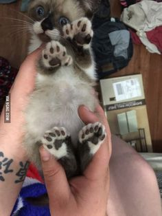 """The paws! Six toe-toes on each foot! """"They"""" say it's a Hemingway cat (?)"""