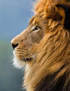 The King # Lion - Discover the world with T . - The King # Lion – Discover the world with T … – Lion And Lioness, Lion Of Judah, Beautiful Cats, Animals Beautiful, Lion Tigre, Animals And Pets, Cute Animals, Safari Animals, Wild Animals
