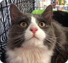 Mount Laurel, NJ - Maine Coon. Meet Gretel, a cat for adoption. http://www.adoptapet.com/pet/11340365-mount-laurel-new-jersey-cat