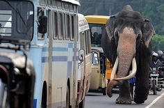 Sharing the road: In Colombo, Sri Lanka, both motorcycles and elephants are allowed to split lanes. Just look at those tusks <3
