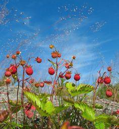 Wild strawberries, Finland