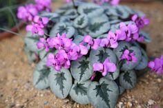http://www.crocus.co.uk/plants/_/cyclamen-coum/classid.2000002649/