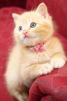 Fotografia hermoso gatito beige