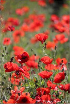 Poppies, Unan maailma