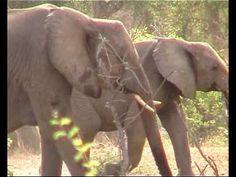 ▶ Elephant Procession, KrugerPark - YouTube