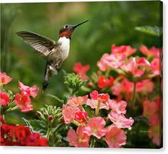 Hummingbird Canvas Art Print. Museum quality stretched canvas fine art print with mirrored sides. Print size: 8x10x1.5, 11x14x1.5, 16x20x1.5, 20x24x1.5 or 24x36x1.5. Orientation: horizontal.  Title: Graceful Garden Jewel Hummingbird  Ruby Throated Hummingbird with flowers in summer garden. Hummingbird stretched canvas print, premium glossy canvas stretched on a wooden frame 1.5 x 1.5 with mirrored sides. Ready to hang with pre-attached hanging wire, mounting hooks, and nails. • VIEW MORE…