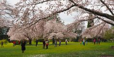 Welcome to Spring, Welcome to the 2015 Vancouver Cherry Blossom Festival. Spring One, Spring Sign, Vancouver, Sakura, Cherry Blossoms, Restaurants, Canada, Posts, Signs