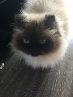 Himalayan cat care eyes
