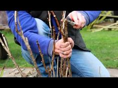 Peony Care Tips Caring For Tree Peonies - How to Get the Best From Your Tree Peony - Kelways Pruning Plants, Tree Pruning, Peonies And Hydrangeas, Peonies Garden, Peony Care Tips, Amazing Gardens, Beautiful Gardens, Japanese Tree, Growing Peonies