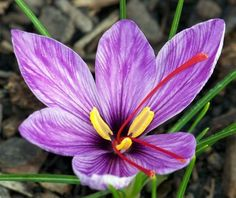 A pesar de que el azafrán es más famoso como especia, en la actualidad, esta flor sigue siendo una de las más espectaculares y costosas del mercado. Su centro amarillo es lo que luego se convierte en la popular especia llamada azafrán. Para producir 500 gr de azafrán se requieren unas 80.000 flores, cuyo precio ronda los 1200 y 1500 dólares por 450 gr