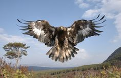 Types of Eagles - The Eagles are the most effective raptor found on planet earth and few of them are amongst the biggest extant types of eagles in the world. The Eagles, Types Of Eagles, Bald Eagles, Eagle Wallpaper, Cairngorms National Park, Photo Animaliere, Eagle Bird, Golden Eagle, Birds Of Prey