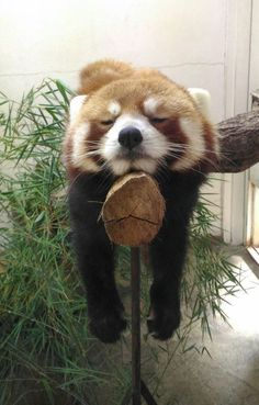 Red Panda is 'counting sheep' at a Zoo Exhibit. Love this animal & photo! Happy Animals, Cute Funny Animals, Cute Baby Animals, Animals And Pets, Cute Dogs, Cute Creatures, Beautiful Creatures, Animals Beautiful, Red Panda Cute