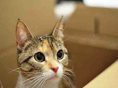 ***GONE BUT NOT FORGOTTEN*** 11/29/14 Brooklyn Center POCAHONTAS - ID#A1021285  Pocahontas is 1 year old kitty with a healing wound at the tip of her tail exposing some bone. She is a very sweet girl until her tail is touched. She is a little sensitive and needs you to kiss her booboo! She is such a pretty lady and needs your help! Please let us know if you can help her!  http://www.urgentpetsondeathrow.org/cats/ubsi-cats/