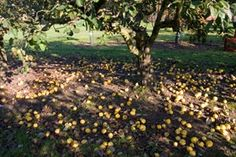 Orange Quince - Willis Orchard Company... it's self fertile and draws in deer and other animals