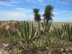 A walk in Barril, the easter Algarve, Portugal. Cacti and aloe vera begin to take over.
