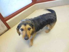 Oh, hi! I'm the dog named Evan and it is a pleasure to meet you. I came to the SPCA from another shelter, so all that moving around has made me really want to find a home of my own. I am a neutered male, black and brown Terrier and Basset Hound and I am about 3 years old. (ID#A075533)