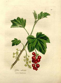 81550 Ribes rubrum L. / Woodville, W., Hooker, W.J., Spratt, G., Medical Botany, 3th edition, vol. 4: t. 191 (1832)