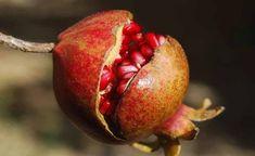 De voordelen van granaatappel zijn enorm. Ze zijn verpakt met enorm veel belangrijke vitamines en mineralen. En bevatten krachtige antioxidanten die op...