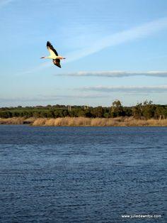 Stork in flight, Herdade dos Grous, Alentejo, Portugal