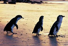 Here are some strikingly and beautiful places if you love to see penguins. The lime stone island is very small and inhabited by wild population of little penguins especially fairy penguins located in Western Australia.
