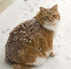 Sad, cold and fat- please donate your huge toothy smiles to this poor beastess in need of cheer this holiday season Fat Cats, Cats And Kittens, Fat Kitty, Kitty Kitty, Crazy Cat Lady, Crazy Cats, Domestic Cat, Little Pets, Pretty Cats