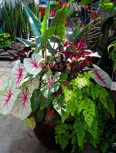 Container garden showing coleus, maidenhair fern, caladium, alocasia (shade) gardening-in-the-sub-tropics Container Flowers, Container Plants, Container Gardening, Tropical Garden, Tropical Plants, Pot Jardin, Public Garden, Shade Plants, Potted Plants