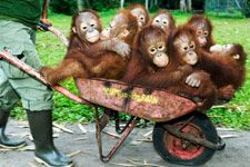 I love orang-utans. One day I want to go and help out at a sanctuary in Borneo.