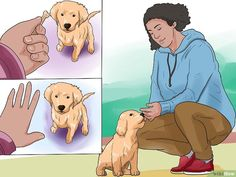 How to Train a Golden Retriever Puppy. It's hard not to love a golden retriever puppy. Unless she happens to be peeing on your floor or eating your shoes. Training your golden retriever from a young age will help form a bond between you. Golden Retriever Training, Golden Retriever Mix, Retriever Puppy, Golden Retrievers, Puppy Training Tips, Training Your Dog, Potty Training, Dog Rates, Golden Puppy
