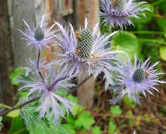 Flore sauvage en Suisse: ERYNGIUM ALPINUM L.