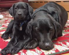Labrador Retriever dad with pup #labradorretriever