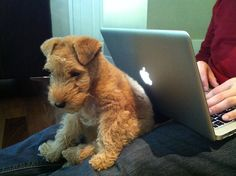 Lakeland terrier puppy - Jaz  I want one of these SO bad! It's like a mini Airedale. Too cute!