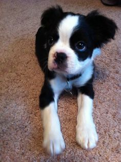 A Rarity For The Breed Long Haired Boston Terrier Oh My Goodness He Is So Adorable I Have Never Seen