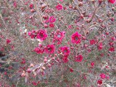 LEPTOSPERMUM scoparium 'Ruby Glow' | Evergreen Nursery