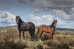 NSW Government to cull 90pc of brumbies in Kosciusko National Park over next 20 years_Brumbies at Tantangara Creek
