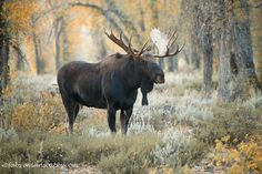 Moose bull at Grand teton National Park, Wyoming. Fall foliage. Photo by Fabs…