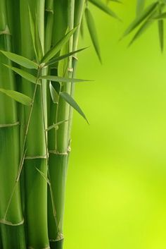 BAMBOO FACTS: What can't be used for furniture or home accessories can be used as a soil-enricher. Moreover, bamboo roots remain in place after harvesting, thereby preventing soil erosion and retaining nutrients for the next crop. World Of Color, Color Of Life, Nature Verte, Green Colors, Colours, Bamboo Tree, Belle Photo, Shades Of Green, My Favorite Color