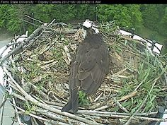Ferris' Campus Osprey Webcam is becoming an even bigger hit with people interested in this university reality show. Check it out: http://osprey.ferris.edu/index.html