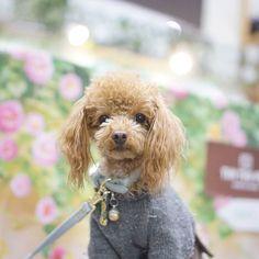 Good morning☀ Have a nice weekend💕  おはようさん☀ 良い週末を~⤴ #toypoodle#cutedog #adorable#ilovemydog #fluffydog#furiends #pet#dog#doginstagram#トイプードル#トイプー#愛犬#いぬら部#ふわもこ部わんこ#犬#わんこなしでは生きていけません会 #親ばかキャンペーン#inutokyo#todayswanko#east_dog_japan #ファインダー越しの私の世界#interpet2017