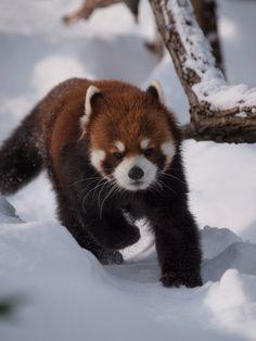 楽しい雪遊びを発見したエイタくんです♪  Red pandas レッサーパンダ 小熊猫