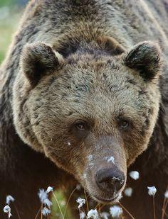 (via 500px / Old brown bear portrait by Erik Mandre)