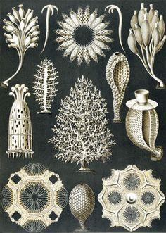 Art Forms of Nature - Calcispongiae (Marine Sponges) - Ernst Haeckel Artwork (Art Prints, Wood & Met Vintage Prints, Vintage Posters, Antique Prints, Science Illustration, Nature Illustration, Ernst Haeckel Art, Art Et Nature, Impressions Botaniques, Natural Form Art