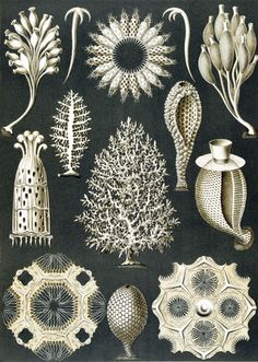 Coral formations. German biologist and philosopher, Ernst Haeckel, mid 19th c. This is a black and white plate illustrating the beautifully detailed forms of a number of corals, from his Kunstform der Natur.