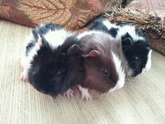our guinea pigs at 2 weeks old#guinea pigs#baby guinea pigs#piglets