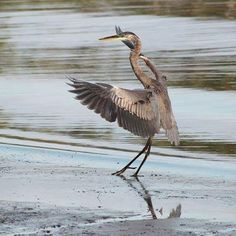 Missing warm weather and dancing with this heron.  #greatblueheron #heron #bird #birdwatching #birder #wings #lake #water #dance #arts #reflection #photography #photo #relaxation #warm #throwback #catgraff