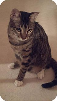 Pictures of Toby a Domestic Shorthair for adoption in Chicago, IL who needs a loving home.
