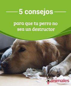 5 Consejos Para Que Tu Perro No Sea Un Destructor Mis Animales Consejos Para Entrenamiento De Perros Entrenamiento Perros Perros