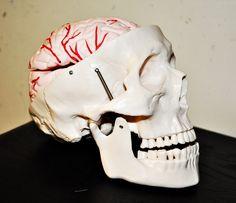 skull, brain, anatomy