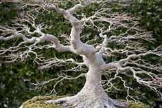 If you have been in bonsai for very long you quickly learn that having good nebari (root structure) adds significantly to the aesthetic and monetary value of your tree.