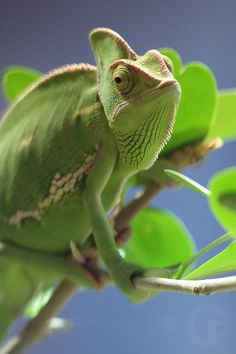 chameleon by Mr. F and the light on 500px